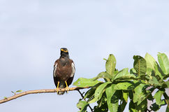 Beautiful myna sitting on a branch Stock Images