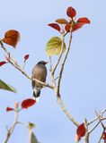 Beautiful myna sitting on colorful tree Stock Photography