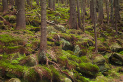 Beautiful mysterious forest with  mossy stones Royalty Free Stock Photography