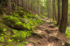 Beautiful mysterious forest with  mossy stones Royalty Free Stock Photo