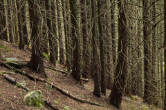 Beautiful mysterious forest with  mossy stones Stock Images