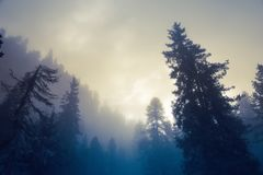 Beautiful pine forest and sunbeams Stock Image