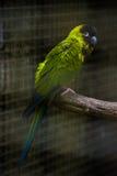 Beautiful Nanday Parakeet stock photos