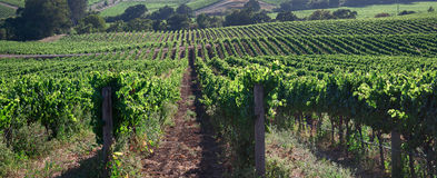 Beautiful Napa County Vineyard Royalty Free Stock Image