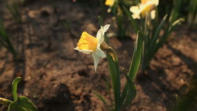 Beautiful narcissus close up stock video footage