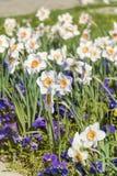 Beautiful narcissus flowers Stock Photo