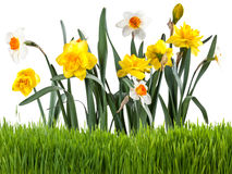 Beautiful narcissus with grass Royalty Free Stock Photos
