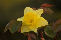 Beautiful narcissus between leaves of roses. Beautiful yellow narcissus between leaves of roses, dark background Royalty Free Stock Image