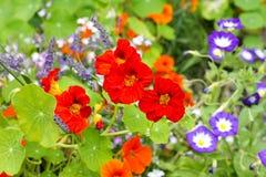 Beautiful nasturtium flowers close up Stock Image