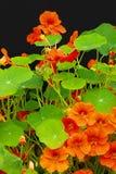 Beautiful nasturtium flowers close up Royalty Free Stock Photos