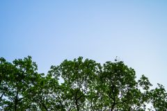 Beautiful natural abstract pattern of giant raintree branches with fresh abundance green leaves and clear blue sky background Stock Images