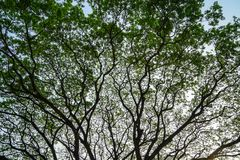 Beautiful natural abstract silhouette pattern of giant raintree branches with fresh abundance green leaves and clear blue sky Royalty Free Stock Photography