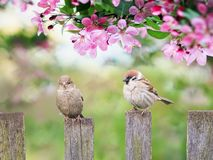 Beautiful natural background with birds sparrows sit on a wooden fence in a rustic garden surrounded by pink flowers veto apple on. A sunny day stock photos