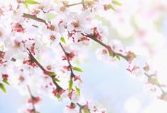 Beautiful natural background with branches and white apricot flowers on blue sky background stock images