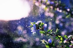 Natural background with cherry Bush branches with delicate white flowers in drops of water and glitter. Beautiful natural background with cherry Bush branches stock image