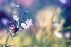 Natural background with delicate white flowers on a green summer glade and a small blue butterfly sitting in bright. Beautiful natural background with delicate stock photography