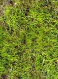 Beautiful natural background. Fresh spring green grass. Stock Photography