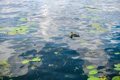 Beautiful natural background of the pond with lily pads. On the water and gray duck royalty free stock images
