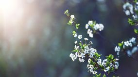 Beautiful natural background. Summer, spring concepts. Fresh cherry flowers stock photo