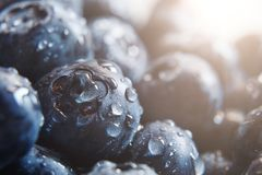 Beautiful natural background. Summer, spring concepts. Ripe and juicy fresh picked blueberries close-up in the gentle rays of the stock image