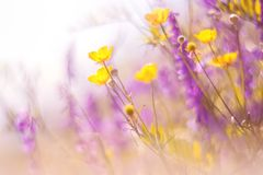 Beautiful natural background with yellow flowers of buttercups and purple flowers of salvia. Selective soft focus