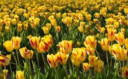 Yellow tulips in tulip field stock photos