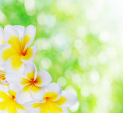 Beautiful  natural bokeh and frangipani Stock Photo