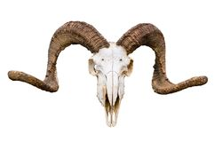 Natural curved horns rams with its skull on white isolated background. stock image
