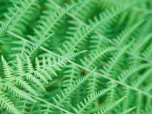 Beautiful natural fern Stock Photo