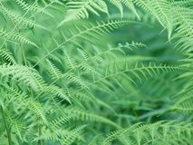 Beautiful natural ferns Royalty Free Stock Photography