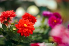 Red Dahlia Flower Detail in Greenhouse Floral Background Stock Photos