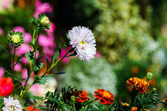Beautiful natural flowers in private garden Royalty Free Stock Image