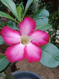 Beautiful natural frangipani flower of srilanka stock images