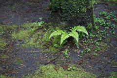 Beautiful natural fresh green fern leaves growing upon tree trunk and damp ground with other small green plant in humid forest. On rainy day, Takachiho, Japan Stock Photo