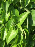 Beautiful natural green herbal creeper stock photo