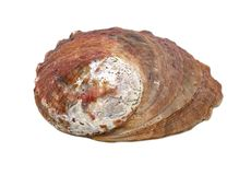 Beautiful natural haliotis shell on a white background isolated royalty free stock images