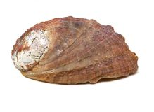Beautiful natural haliotis shell on a white background isolated royalty free stock photos