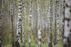Beautiful natural panoramic landscape - summer birch grove in the evening diffused sunlight. Stock Image