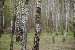 Beautiful natural panoramic landscape - summer birch grove in the evening diffused sunlight. Royalty Free Stock Images