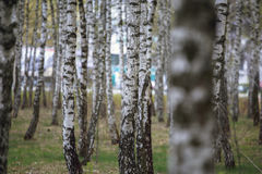 Beautiful natural panoramic landscape - summer birch grove in the evening diffused sunlight. Royalty Free Stock Photography