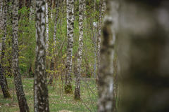 Beautiful natural panoramic landscape - summer birch grove in the evening diffused sunlight. Stock Photos