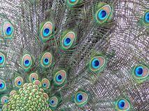 Eyes of the peacock feathers. Beautiful natural pattern of a bird`s feathers. They look like blue eyes royalty free stock photography