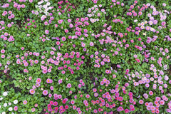 Beautiful natural pattern made of Daisy flowering plants. Beautiful natural pattern made of Bellis (or English Daisy) flowering plants Stock Photography