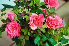 Beautiful Natural pink roses. Flowers pink Royalty Free Stock Photos