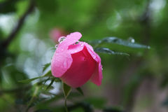 Beautiful natural pink and white roses with water drops Stock Image