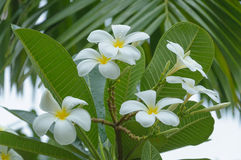 Beautiful natural Plumeria flower Royalty Free Stock Images