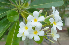 Beautiful natural Plumeria flower Stock Images