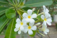 Beautiful natural Plumeria flower Stock Images