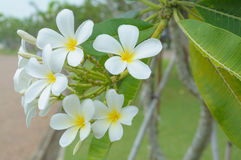 Beautiful natural Plumeria flower Stock Photo