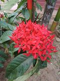 Beautiful natural red color flower of srilanka royalty free stock photos